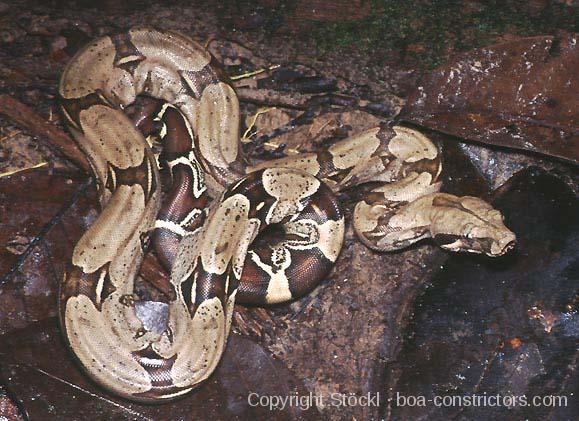 Boa c. constrictor Kolumbien