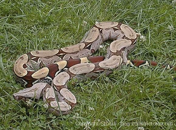 Boa c. constrictor Surinam - Surinam Rotschwanzboa