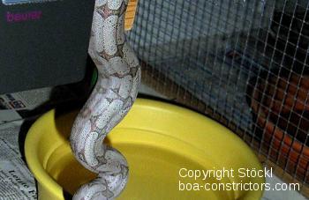 Boa c. amarali Brasilien Kurzschwanzboa