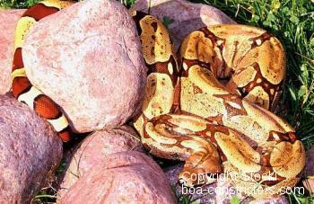 Boa c. constrictor Brasilien Belem