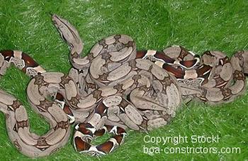 Guayana Rotschwanzboa Boa c. constrictor