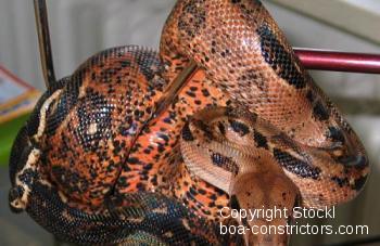 Honduras Festland Boa c. imperator