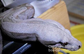 Boa c. amarali Brasilien
