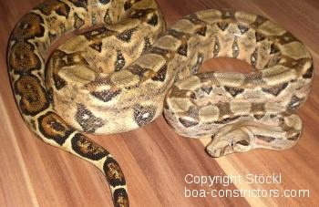 Cancun Boa c. imperator Cancun Quintana Roo, Mexiko