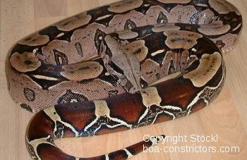 Boa c. constrictor Surinam Rotschwanzboa