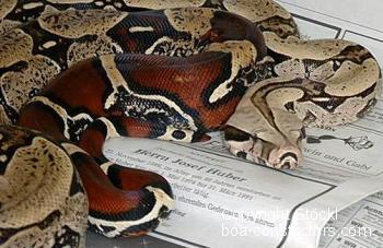 Boa c. constrictor Surinam