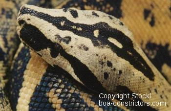 Boa c. longicauda gelb-schwarz