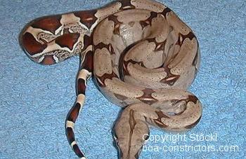 Trinidad redtail boa - Boa c. constrictor Trinidad