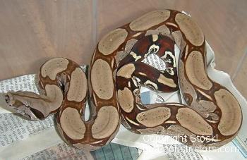 Boa c. constrictor Surinam Pokigron