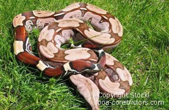 Boa c. constrictor Surinam Pokigron Rotschwanzboa